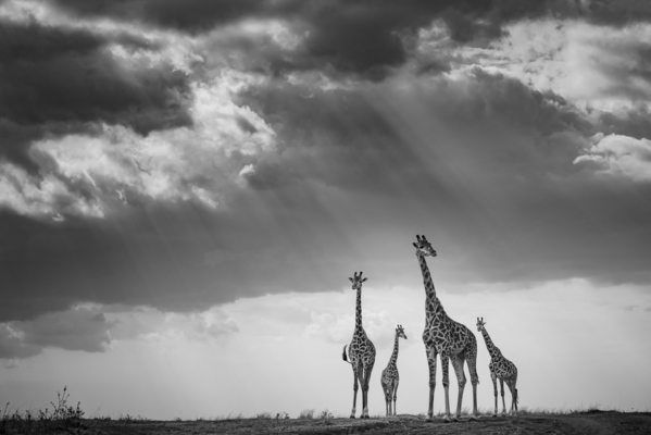 FOUR GIRAFFES AND RAYS OF LIGHT, Masai Mara, 2017
