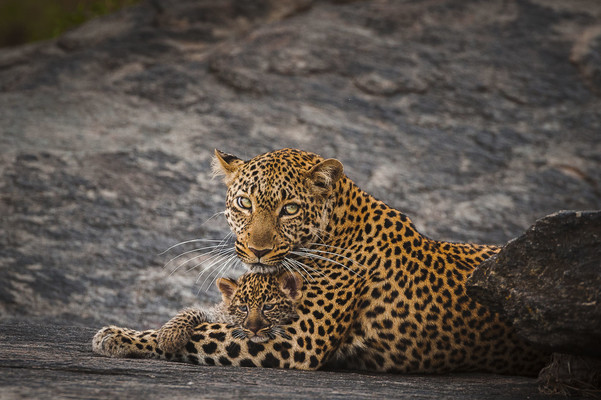 LEOPARD MOTHER AND CUB ON GRANITE, Masai Mara, 2013